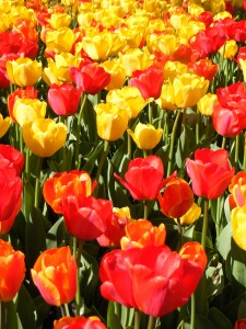 Tulips 2 small