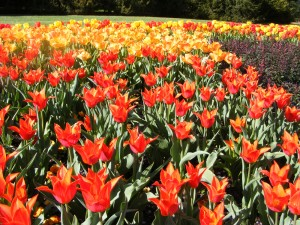 Tulips small