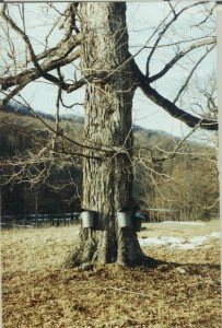 Old-time buckets on a maple near Bolar, Virginia