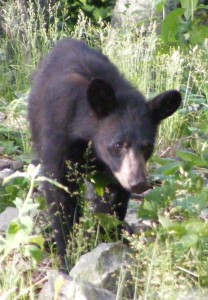 Black bear cub near Camp Rapidan